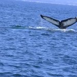 Diving Whale Tail