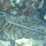 Lobster - Smiths Reef