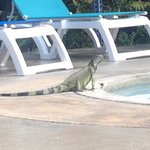 One of the iguanas in the area