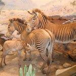 Zebras, so lifelike
