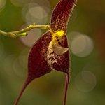 Orchid - Dracula vampira