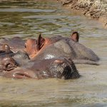 two shy hippos looking for a private bath, no way