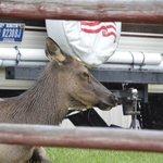 elk upon arrival