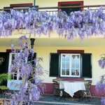 Wisteria in April.