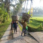 Locals rice farmers