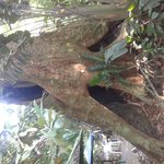 50 meter tall tree