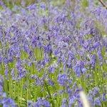 Amazing Bluebell Woods!