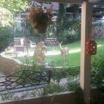 1 of 3 baby deer outside our room in the morning