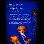 Jelly - Sea Nettle
