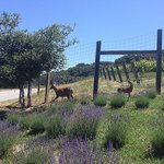Deer roaming around the property