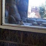 Meerkat saying hello