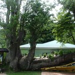this baobab tree was blown onto the bus by hurricane david in 1979