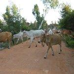 Crossing cows!