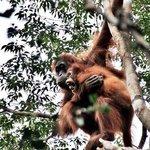 Orangután con cría