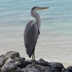 """""""our"""" heron"""