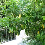 Lemon tree on terrace