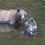 Grizzly mit Jungem