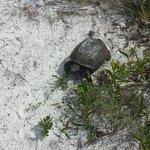 A very friendly gopher tortoise