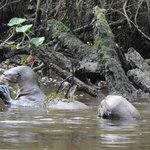 Giant river otters catching fish in the Napo river
