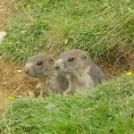The Kohlmais mountain Marmots