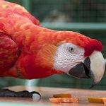 Feeding the scarlet macaws