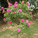 un très beau rosier du jardin