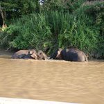 Pygmee Elephants