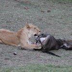 The lioness ripping through wildebest flesh