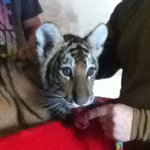 Baby tiger, you can have your picture taken with.