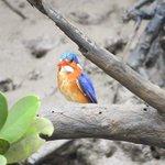 Martin pecheur dans les mangroves