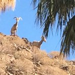 Big Horn Sheep in Palm Canyon on Victor Trail 8-23-14
