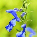 Unfamiliar Blue flower