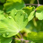 Droplets on leaves