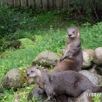 Otters at Sealife Centre Oban