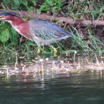 A Green Heron hunts on the opposite bank
