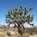 Joshua Tree..only above 3700 feet...The Mojave Desert