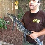 Gator in the Critter Show, Billie Swamp Safari