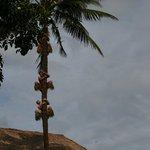 Так добывают кокосы