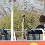Great photo opportunities close to ostriches #Safari Ostrich Farm