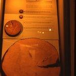 Manitoba Museum: qual'è l'albero più vecchio?