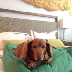 Wiener dog in room.
