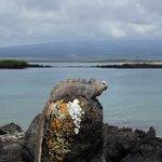 marine iguana is sunbathing on the stone
