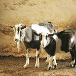 Goats posing