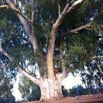 Il mega Eucaliptus dove girare dalla strada statale verso il residence
