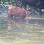 Cows making water dirty