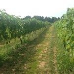 Duck Walk vineyard