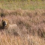 The tsaro male in the long grass
