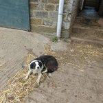 rosie the sheep dog