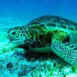 Green Sea Turtle at Hol Chan
