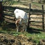 mucca e vitellino